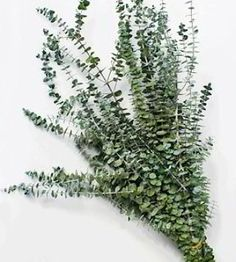 Preserved Eucalyptus branches and leaves- Our eucalyptus is cut fresh, dyed and preserved to retain its color and fragrance for a long period of time. Many colors available! #eucalyptus #flowerarrangements #weddingbouquetideas