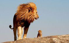 Papa et bébé lion