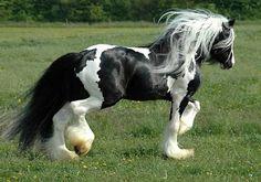 GYPSY VANNER Horse.jpg (320×224)