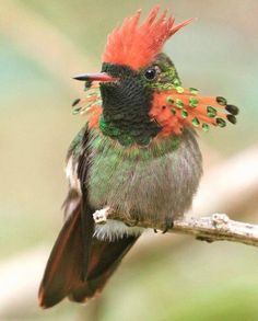 tufted coquette ( Lophornis ornatus )