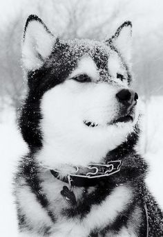 1 of the 5 dog breeds I want to have at some point during my lifetime.