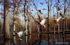 Artist David Maass Unframed Duck Print Heart of the Timber- Mallards | WildlifePrints.com