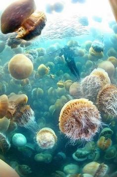 Ocean Life Photography---Jellyfish lake in palau