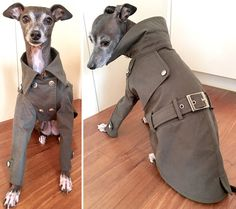 😍Wish it came in Greyhound size Italiaanse windhond kleding trenchcoat Mini Italian Greyhound, Italian Greyhound Clothes, Boy Dog Clothes, Pet Coats, Dog Coat Pattern, Dog Clothes Patterns, Dog Modeling, Funny Dog Pictures, Animal Fashion