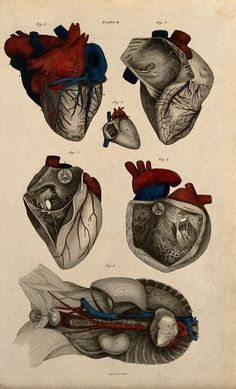 Heart. Six figures of the human heart, showing blood vessels and nerves. A system of anatomical plates of the human body. Daniel Lizars, 1822-26. With 101 Hand-Colored Plates. Lizars, John (ca. 1787-1860). 8vo text, 12 parts in one volume, plus folio atlas with engraved title and 101 hand-colored plates (each with plain paper guard) engraved by William Home Lizars (1788-1859); Edinburgh: Printed for Daniel Lizars . . . , 1822-26.