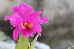 Outra Orquídea, eu agora aguardando que venham novas flores...