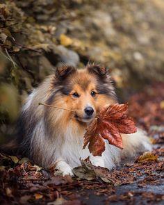 Sheltie, Fox, Animals, Animaux, Animal, Animales, Foxes, Red Fox, Animais