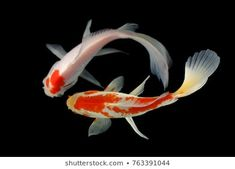 Their spectacular colors and patterns are part of the reason that koi fish are loved today and treasured by their owners. Colors of a koi fish should be bright. Coy Fish, Koi Fish Pond, Fish Fish, Pictures To Draw, Nature Pictures, Image Photography, Animal Photography, Koi Painting, Japanese Koi