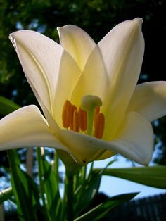 White Lilly