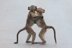 Een rennende hamster met gevulde wangen: dat is volgens de jury van de Comedy Wildlife Photography Awards de grappigste dierenfoto van het jaar. Fotograaf Julian Rad versloeg meer dan 1.500 rivalen uit de hele wereld. Hieronder vindt u een greep uit de laureaten van dit jaar. © Tony Dilger/Comedy Wildlife Photography Awards