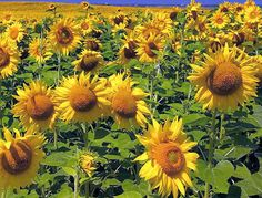 A field of sunflowers are amazing to see with their heads all pointed in the same direction!!