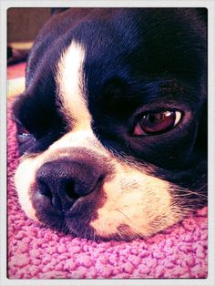 #bostonterrier #dog