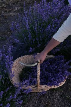 How to harvest lavender - my dream someday!