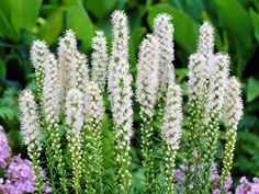 The Blazing Star plant, Liatris spicata is an interesting perennial that produces foot spikes of bright purplish-pink or white flowers in late June to early fall. 50 seeds of White Blazing Star (Liatris spicata). White Perennial Flowers, White Flowers, Perennial Plant, Hardy Perennials, Flowers Perennials, Water Wise Landscaping, Butterfly Plants, Moon Garden, Home Garden Plants