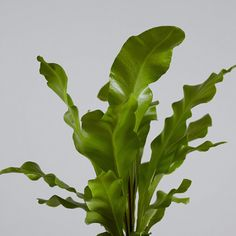 how to look after a birds nest fern