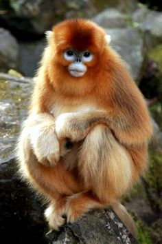 Golden Snub-Nosed Monkey | golden snub nosed monkeys are used to cold climates and