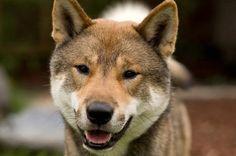 Shikoku Ken Inu Dog, Japanese Wolfdog, 四国犬