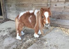 Little Horse Who Survived On Rotten Hay Pitter-Patters Down The Road To Recovery For more Cute n' Country visit: www.cutencountry.com and www.facebook.com/cuteandcountry