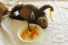 Hungry sloth. | The 29 Cutest Sloths That Ever Slothed