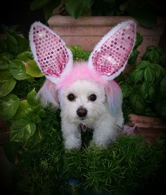 """Zoe the Therapy Dog in her pink bunny ears saying """"happy Easter everyone""""."""