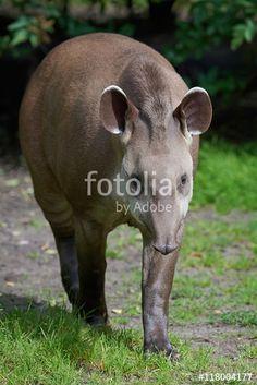 This image was sold today @ fotolia by Adobe: South American tapir (Tapirus terrestris) https://eu.fotolia.com/id/118004177