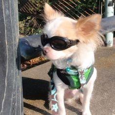 おはようございます。 僕もワイルドに決めてみまちた! #わんこ #愛犬 #犬 #いぬ #チワワ #チワワ部 #ロンチー #シェルティ #シェルティー #シェットランドシープドッグ #chihuahua #chihuahualove #sheltie #shetlandsheepdog #dog #dogstagram #doglover #pet #petstagram #petlovers #サングラス犬 #ワイルド犬 #かわいい