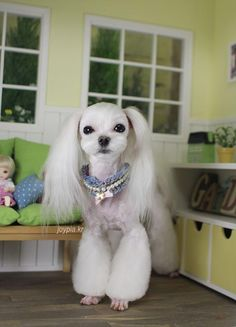 Korean Dog Grooming Style — Maltezer