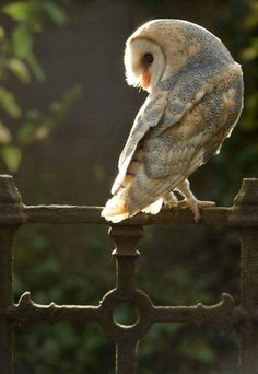 Owl on wrought iron gate