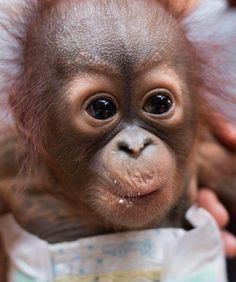 May 2017 - A rescue team saved a tiny orphaned orangutan in Borneo. Cute Funny Animals, Cute Baby Animals, Animals And Pets, Borneo, Ape Monkey, I Love Dogs, Animals Beautiful, Animal Rescue, Animal Pictures