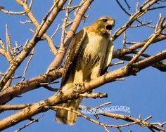 colorado red tailed #hawk perch #BirdsofPrey