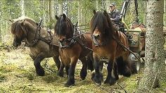 The North Swedish horse is in the risk zone to go extinct. Only 200 foals are born this year in Sweden, 2014. There is only about 8000 horses left in Sweden today.