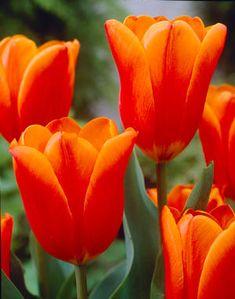 Tulipa triumph 'Kings Orange' Tulip
