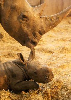 Rhinoceros calf born at Copenhagen Zoo