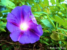 There are few things more glorious than Morning Glory!      Purple Perfection by Robyn King  prints available through smugmug
