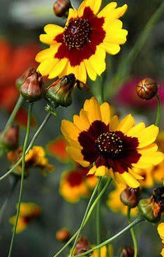 Coreopsis Tinctoria Aka Plains Garden Golden Tickseed Calliopsis Bicolor Annual Flower Muralreddish Brownnatural