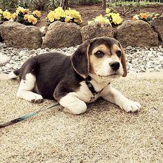#beagle    Like and repin. :)