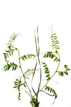 Ramas de veza buscando apoyo en hojas de cebadilla, Valle de la Cueva, Almadenejos. (Cuidad Real)