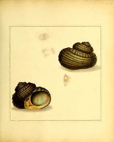 The universal conchologist : - Biodiversity Heritage Library