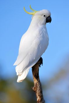 The Sulphur-crested Cockatoo, is a relatively large white cockatoo found in wooded habitats in Australia and New Guinea. They can be locally very numerous, leading to them sometimes being considered pests. They are well known in aviculture, although they can be demanding pets. In Australia, Sulphur-crested Cockatoos can be found widely in the north and east, ranging as far south as Tasmania, but avoiding arid inland areas with few trees. They are numerous in suburban habitats in cities…