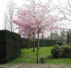 Tuinshop VERKEST BVBAMODULE_HEADER_TAGS_PRODUCT_TITLE_SEPARATOR Prunus accolade - Sierkers