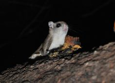 I took this pic last night... Flying squirrels love peanut butter!