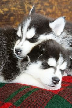 ~ ALASKAN MALAMUTE PUPS, REMEMBER THEY GET TO BE VERY LARGE ADULTS ~