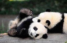 20 Pictures That Prove Pandas Are The Cutest Animals Ever Panda Kawaii, Niedlicher Panda, Cute Panda, Beautiful Creatures, Animals Beautiful, Photo Panda, Baby Panda Bears, Baby Pandas, Giant Pandas