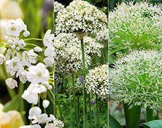 The White Allium Collection by Crocus. All these varieties will naturalise well and look good planted in naturalistic swathes or clusters Allium Flowers, Bulb Flowers, Edible Flowers, Colorful Flowers, White Flowers, Planting Bulbs, Planting Flowers, Month Flowers, Garden Shop