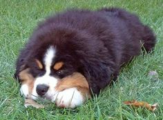 Bruno the Bernese Mountain Dog #BerneseMountainDog