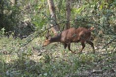 hog deer - endangered