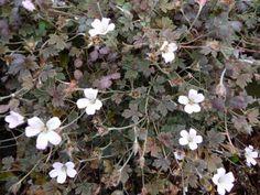 idehaven: Geranium Sanne er een af de nyere. Blomstrer i flere måneder. Er god som bunddække idet den danner et helt tæt tæppe.