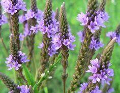 Natürlich Gesund: Eisenkraut: eine traditionelle Heilpflanze und ein...