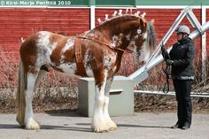 Bay sabino Clydesdale stallion Arclid Scottish Lad. Sabino is fairly common with Clydesdales and Shires but usually the pattern is not this big.