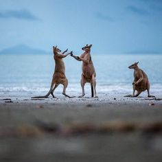 Вот такие забавные жители обитают в национальном парке штата Квинсленд, Австралия  #travel #travelgidclub #путешествия #traveling #traveler #beautiful #instatravel #tourism #tourist #туризм #природа #Австралия #животные #кенгуру